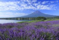 河口湖よりラベンダーと富士山を望む