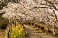 大窪橋の桜 02742000011| 写真素材・ストックフォト・画像・イラスト素材|アマナイメージズ