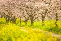 草場川の桜並木 02742000073| 写真素材・ストックフォト・画像・イラスト素材|アマナイメージズ