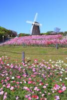 花博記念公園鶴見緑地 風車の丘のコスモス