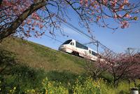 河津桜と伊豆急行「リゾート21」