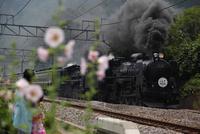 蒸気機関車,C61とタチアオイ