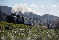 蒸気機関車 C11大井川鉄道と茶畑