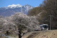 特急 「あずさ」桜と八ヶ岳