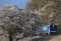 桜と電気機関車「ブルーサンダー」