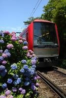 あじさいの箱根登山鉄道