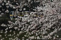 外濠沿いの桜 中央線