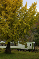 黄葉するイチョウ 飯山線