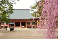 毛越寺とシダレザクラ