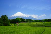 富士山と茶畑と雲