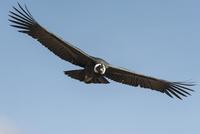 コルカ・キャニオンのコンドル成鳥