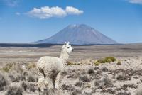 アンデス高原のアルパカとミスティ山
