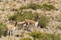 アンデス高原の絶滅危惧種ビクーニャの群れ