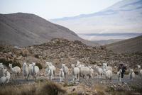 アンデス高原のアルパカの群れと牧童