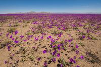 アタカマ砂漠の花園・デシエルトフロリド
