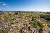 アタカマ砂漠の花園に咲くアニャニュカの群落