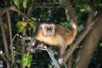 レンソイス砂漠のマングローブ林に暮らすオマキザル