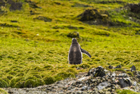 南極のコケの群落を歩くジェンツーペンギン