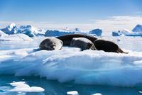 氷塊の上で眠るアザラシ 02798000278| 写真素材・ストックフォト・画像・イラスト素材|アマナイメージズ