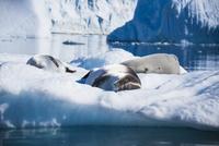 氷塊の上で眠るアザラシ