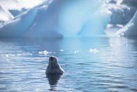 海中で眠るアザラシ 02798000372| 写真素材・ストックフォト・画像・イラスト素材|アマナイメージズ
