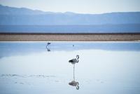 アタカマ塩湖のフラミンゴ 02798000463| 写真素材・ストックフォト・画像・イラスト素材|アマナイメージズ