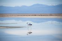 アタカマ塩湖のフラミンゴ 02798000464| 写真素材・ストックフォト・画像・イラスト素材|アマナイメージズ
