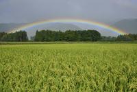 虹と田んぼ