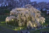 三春の滝桜、夜桜