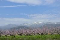 吾妻小富士と雪うさぎ、桃の花