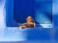 シャウエンの青い街の青い扉の前で毛繕いをする茶トラ猫