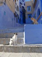 シャウエンの青い街の階段にいる茶トラ猫と黒白猫