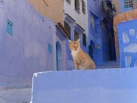 シャウエンの青い街にいる茶トラ猫