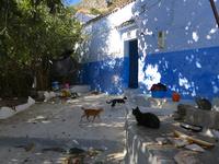 シャウエンの青い街の民家で暮らす猫たち