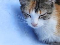 シャウエンの青い街で眠る三毛猫