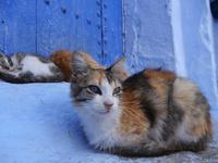 シャウエンの青い街で眠る猫たちとオッドアイの三毛猫