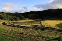 秋の棚田の稲刈り