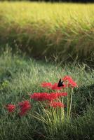 秋の棚田の彼岸花と蝶