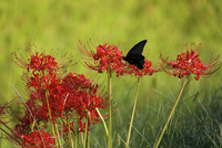 西予市城川町の秋の棚田の彼岸花と蝶