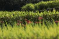 西予市城川町の秋の棚田の稲