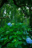 報国寺の竹林と紫陽花 02821000206| 写真素材・ストックフォト・画像・イラスト素材|アマナイメージズ