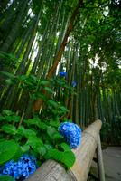 報国寺の竹林と紫陽花 02821000254| 写真素材・ストックフォト・画像・イラスト素材|アマナイメージズ