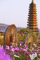 コスモスが満開の般若寺境内 02822000027| 写真素材・ストックフォト・画像・イラスト素材|アマナイメージズ