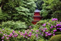 紫陽花咲く岩船寺 02822000117| 写真素材・ストックフォト・画像・イラスト素材|アマナイメージズ