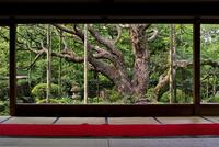 宝泉院額縁庭園の五葉松 02822000124| 写真素材・ストックフォト・画像・イラスト素材|アマナイメージズ