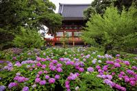 アジサイが咲く智積院境内 02822000175| 写真素材・ストックフォト・画像・イラスト素材|アマナイメージズ
