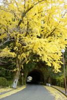青の洞門と銀杏 本耶馬渓 07000000894| 写真素材・ストックフォト・画像・イラスト素材|アマナイメージズ