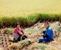 稲刈りする夫婦