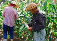 トウモロコシ畑の夫婦