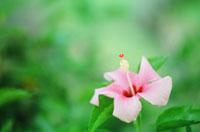 薄いピンクのハイビスカス